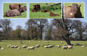 raveningham_livestock