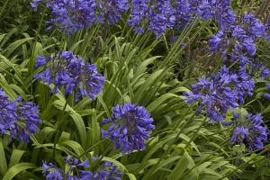 Raveninghamagapanthus summergarden